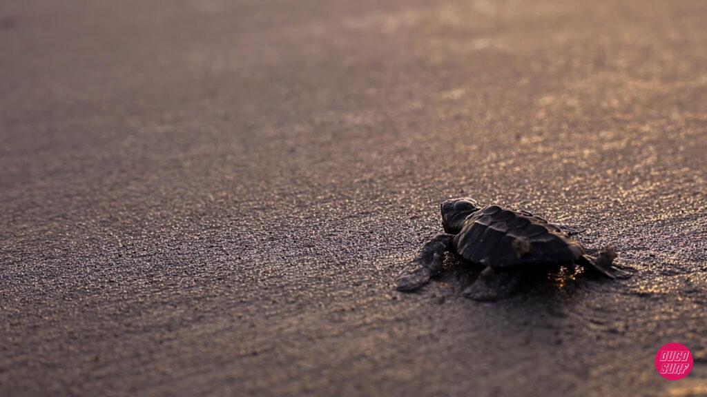 buco surf panama tortugas marinas